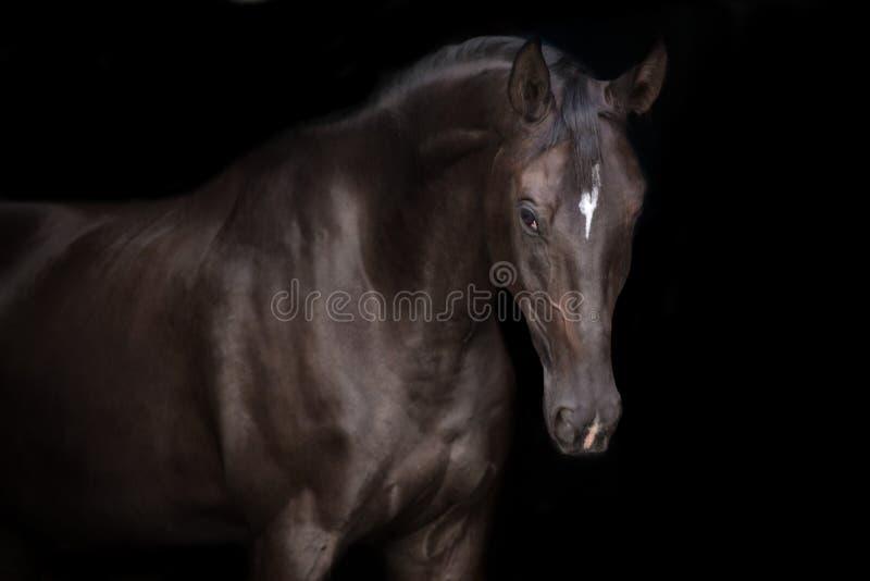 Stallion nero isolato immagini stock libere da diritti