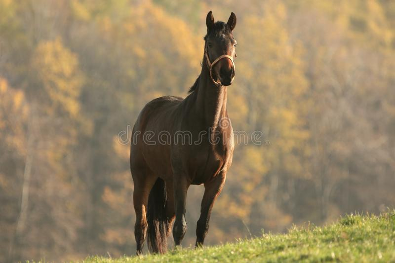 Horse on a meadow at dusk royalty free stock image