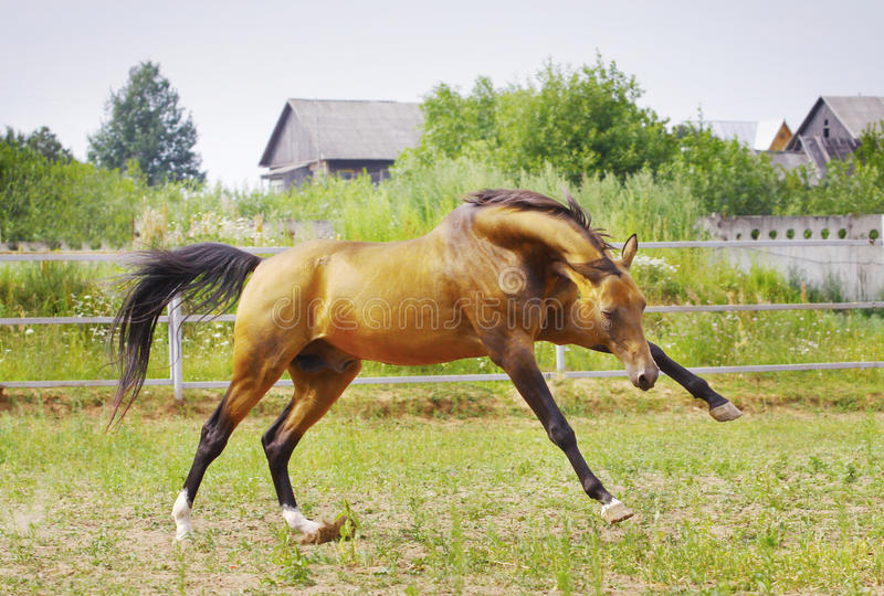 Stallion Playing Royalty Free Stock Photography