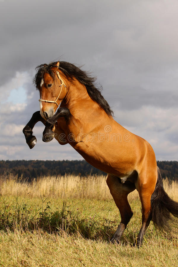 Download Stallion rears stock image. Image of equine, male, dust - 11721081