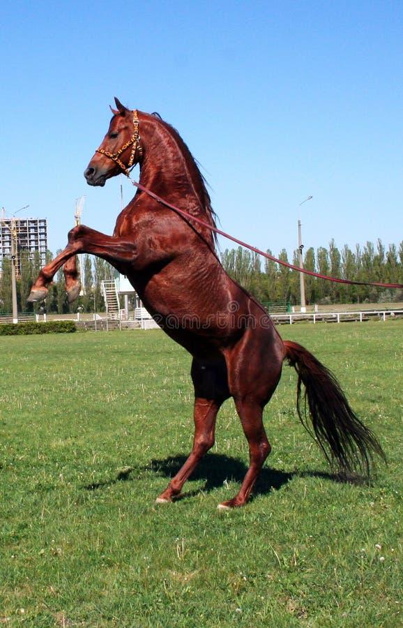 Stallion Rufous immagini stock libere da diritti