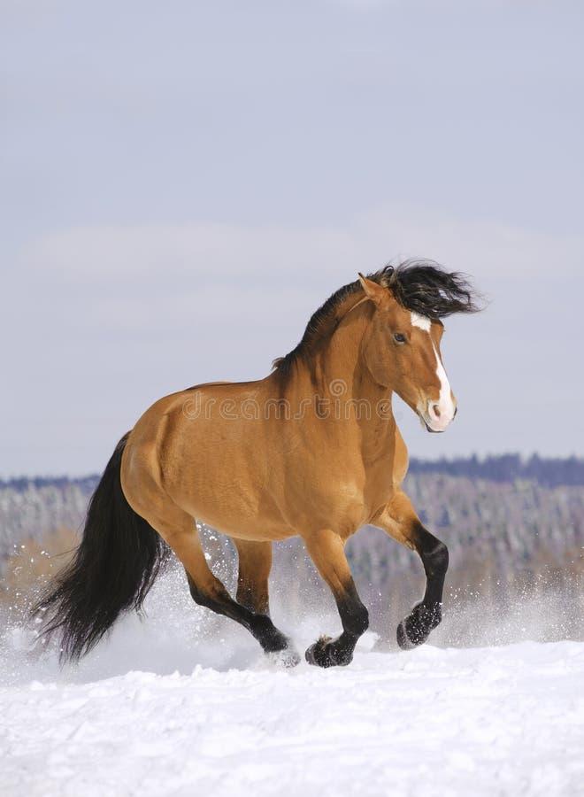 Stallion Running In Snow Stock Photo