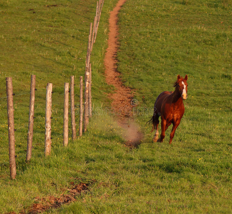 Stallion Runs Downhill Royalty Free Stock Images