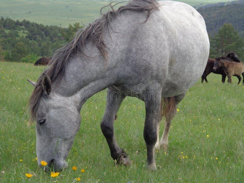 Stallion selvaggio fotografia stock libera da diritti