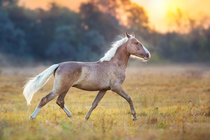 Stallion trotting at sunlight royalty free stock images