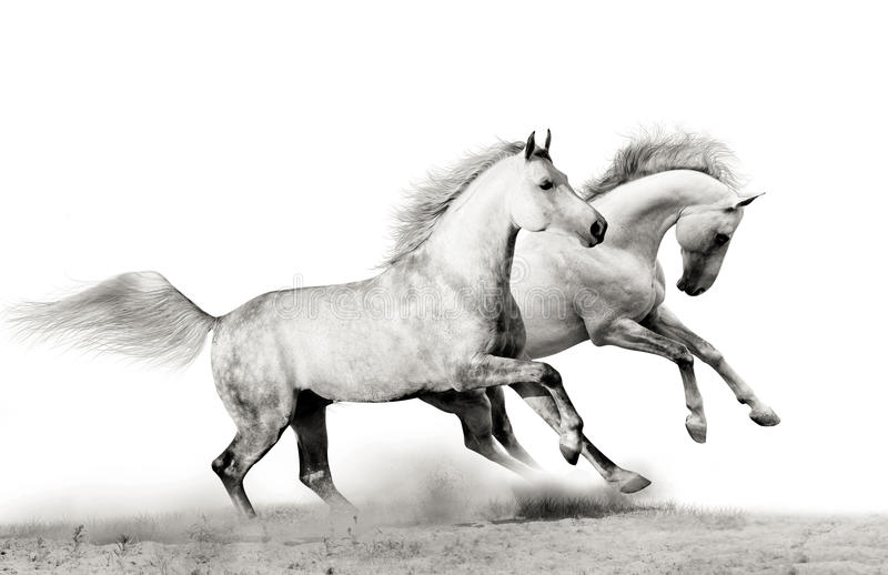 Download Stallions running stock photo. Image of grey, fast, black - 24894090