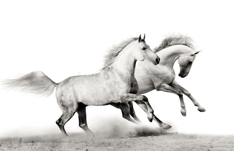 Stallions running stock photo