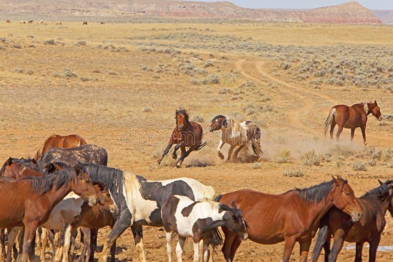 Stallions selvaggi che combattono per le cavalle immagine stock libera da diritti
