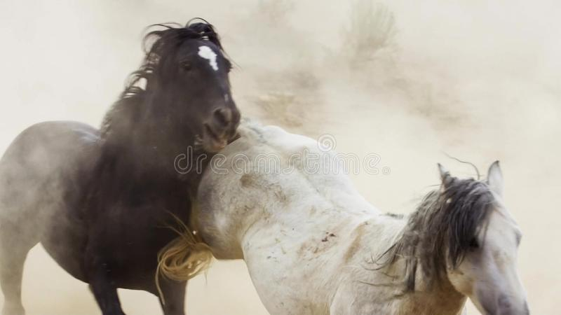 Stallions, wild mustangs try to dominate the pools, fighting of rivals who venture too close in the desert of Nevada, United. States. Wildlife concept royalty free stock images