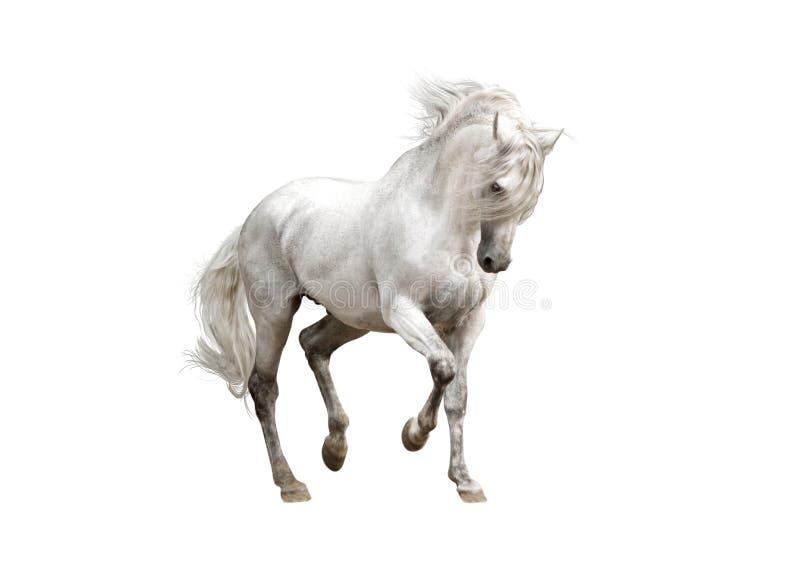 Stallone andaluso bianco del cavallo isolato su fondo bianco immagine stock