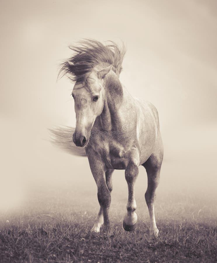 Stallone andaluso grigio che gioca nel myst fotografia stock
