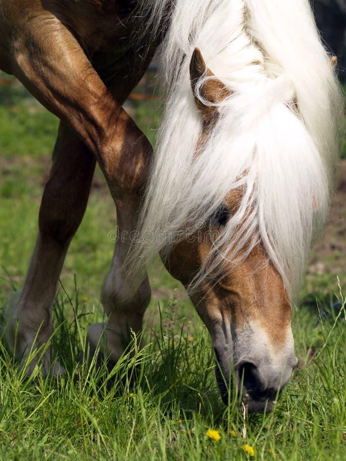 stallone del cavallo del haflinger fotografie stock