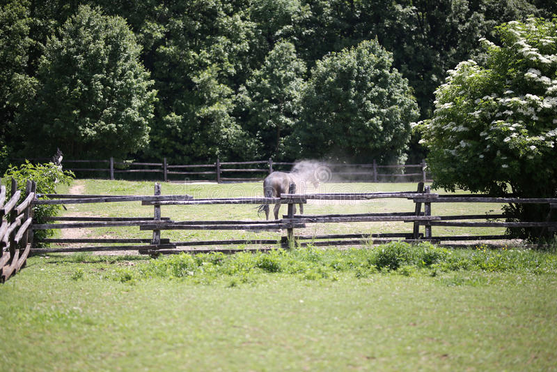 Stallone del purosangue nel recinto per bestiame di estate dopo il rotolamento sulla terra immagine stock libera da diritti