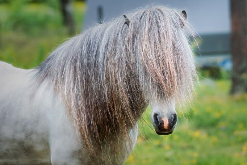 Stallone islandese del cavallo fotografia stock libera da diritti