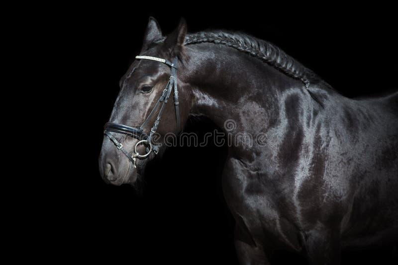 Stallone nero sul nero fotografia stock libera da diritti