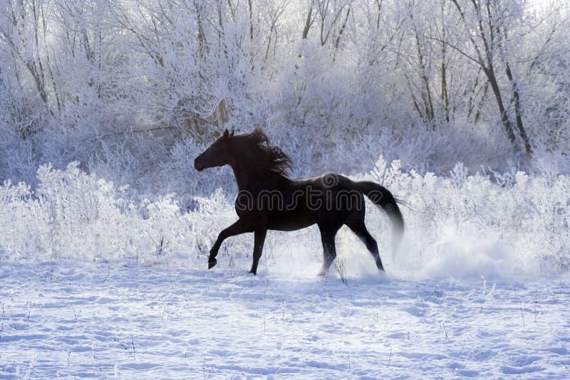 Stallone su neve bianca immagini stock libere da diritti