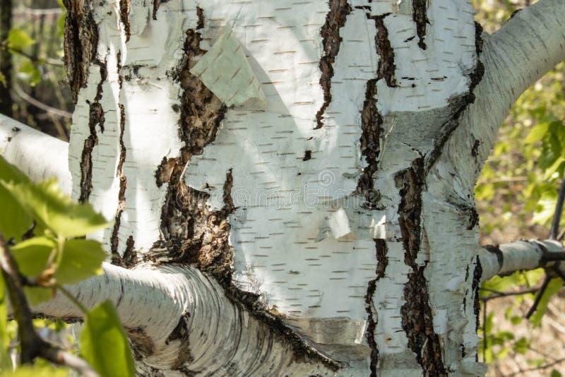 Stam av den vita björken i förgrunden royaltyfri fotografi