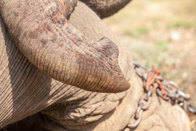 Stam av en elefant arkivbilder