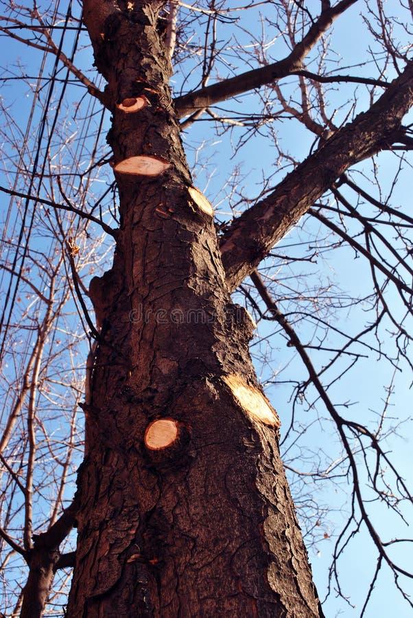 Stam för kastanjebrunt träd med det sågade för klippa och rengöraträdet för filialer, på våren, blå ljus himmelbakgrund med tråda royaltyfri foto