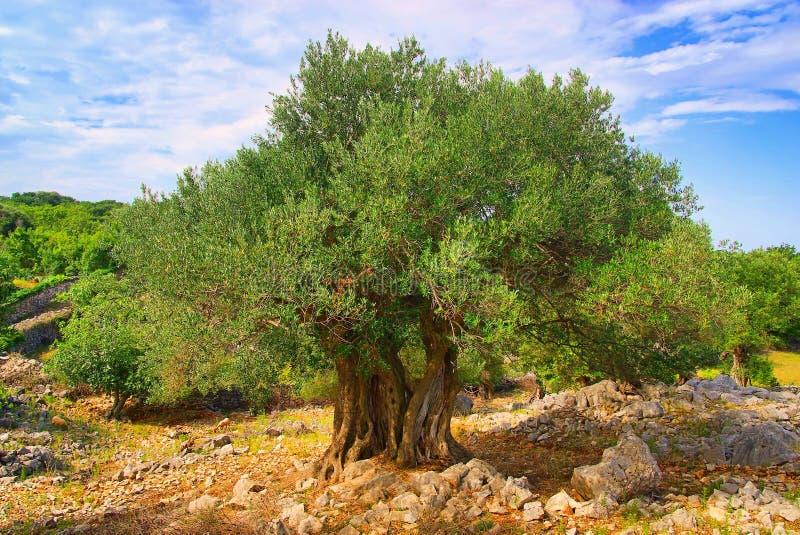 stam för olive tree royaltyfria bilder