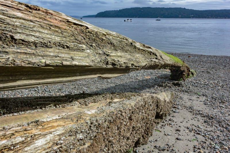 stam för urgröpt träd som fylls med sand längs pugetljud arkivfoto