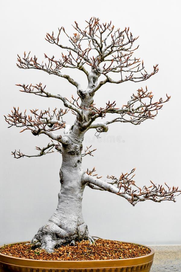 Stam för vit bokträd för bonsaiträd royaltyfria foton
