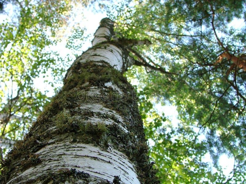 stam van dichte omhooggaand van de berkboom stock foto's
