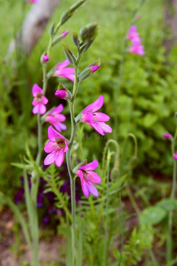 Stam van roze gladiolibloemen in een bloembed stock foto's