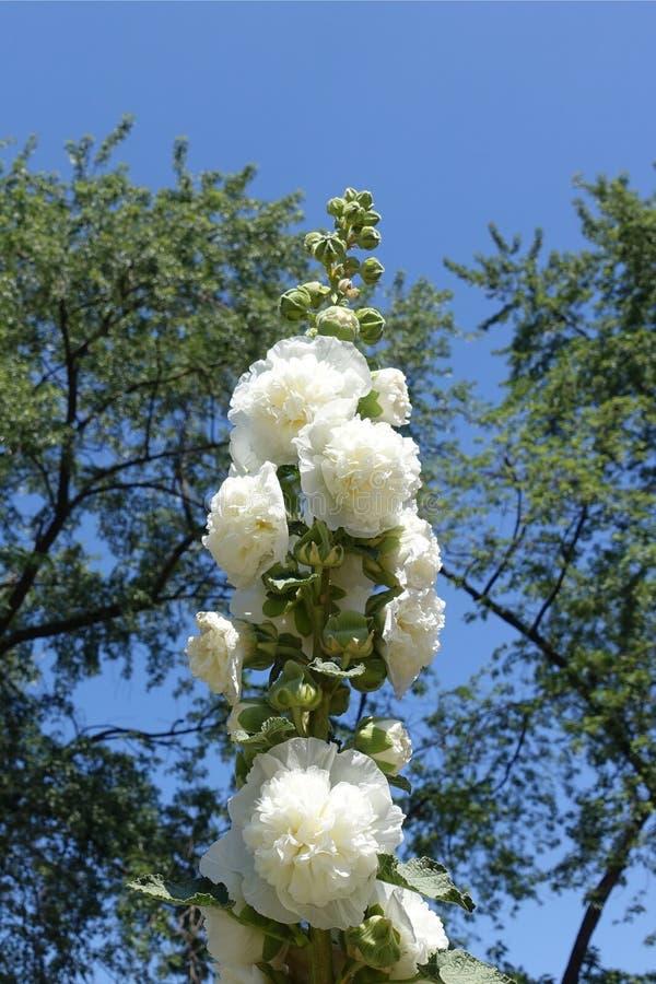 Stam van stokroos met dubbele witte bloemen tegen blauwe hemel stock afbeelding