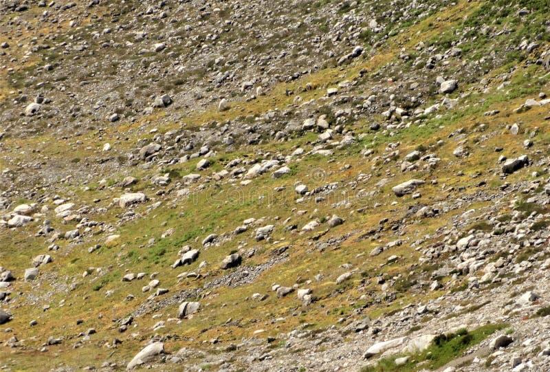 Stambecchi che vivono su un pendio alpino immagine stock libera da diritti