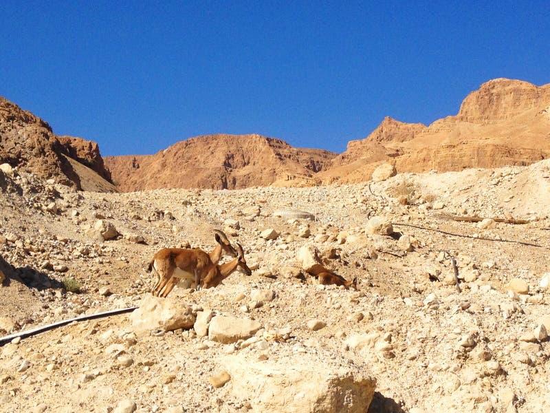 Stambecchi di Nubian - nel deserto di Qumran vicino a Masada fotografia stock libera da diritti