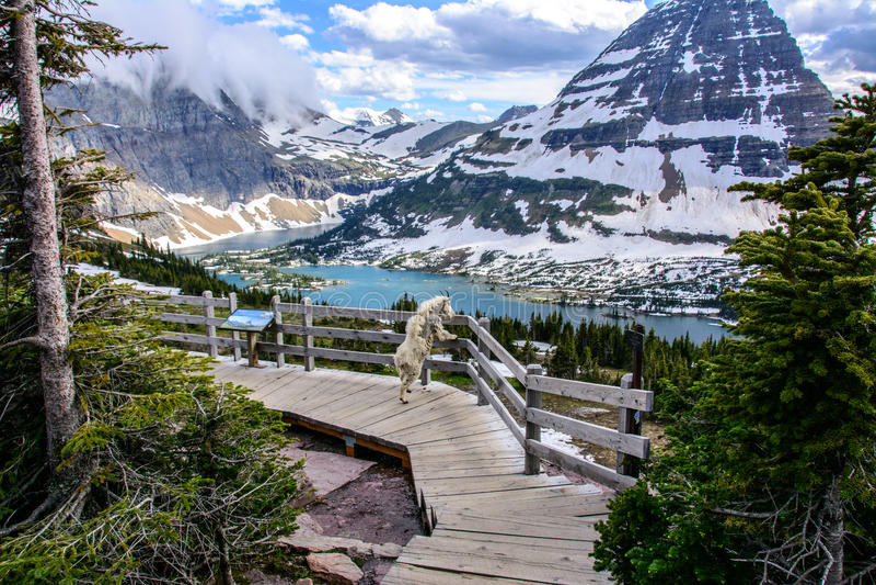 Stambecchi e lago nascosto, Glacier National Park, Montana U.S.A. immagini stock