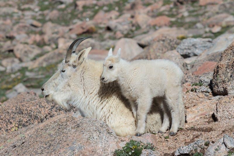 Stambecchi selvaggi del Colorado Rocky Mountains fotografia stock libera da diritti