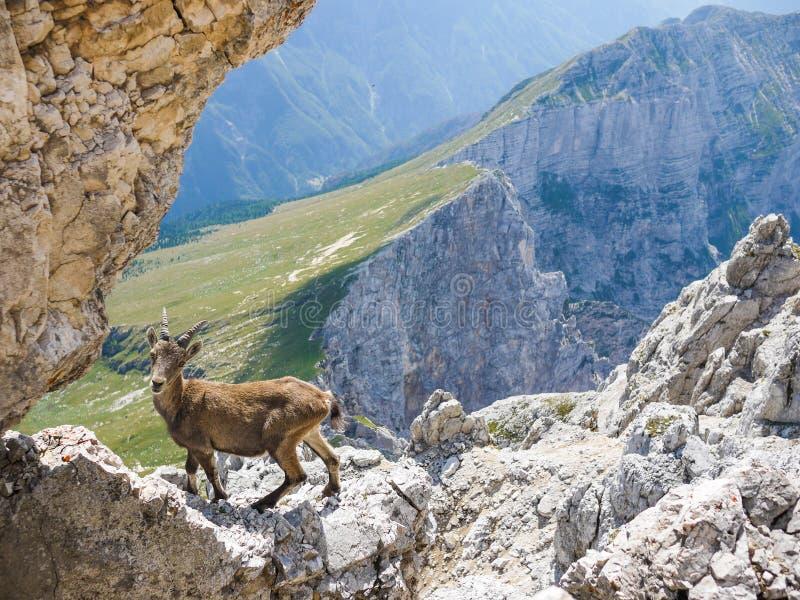 Stambecco alpino fotografia stock