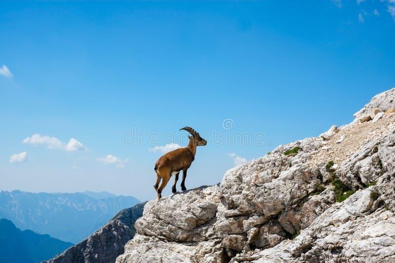 Stambecco alpino fotografie stock
