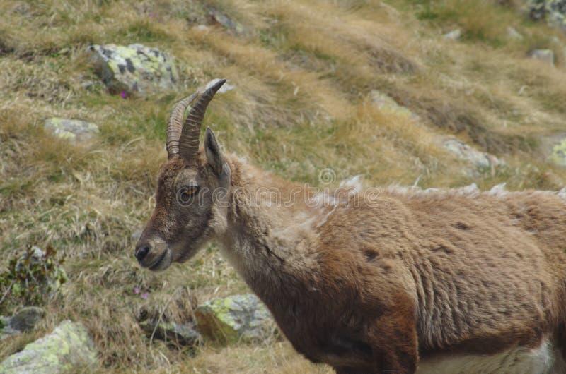 Stambecco alpino (capra ibex) fotografie stock libere da diritti
