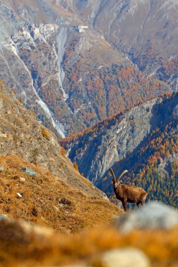 Stambecco alpino, capra ibex, con l'albero di larice arancio di autunno nel fondo della collina, parco nazionale Gran Paradiso, I fotografia stock