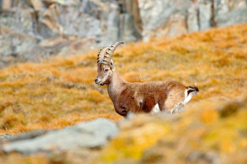 Stambecco alpino, capra ibex, con l'albero di larice arancio di autunno nel fondo della collina, parco nazionale Gran Paradiso, I fotografie stock