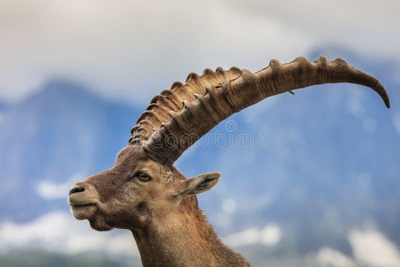 Stambecco alpino (capra ibex) in Mont Blanc, Francia immagine stock