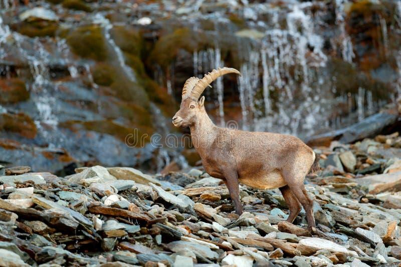 Stambecco alpino, capra ibex, nell'habitat della natura Parco nazionale di Gran Paradisko, Italia Scena della fauna selvatica dal fotografia stock