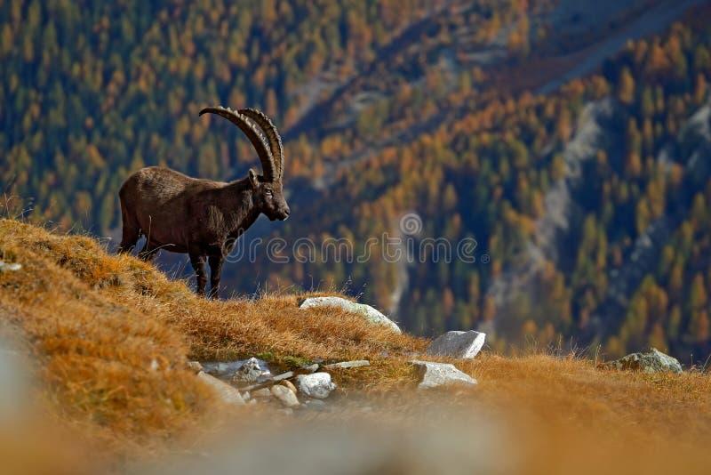 Stambecco alpino di Antler, stambecco di capra ibex, animale nell'habitat della natura, con l'albero e le rocce di larice arancio immagine stock libera da diritti