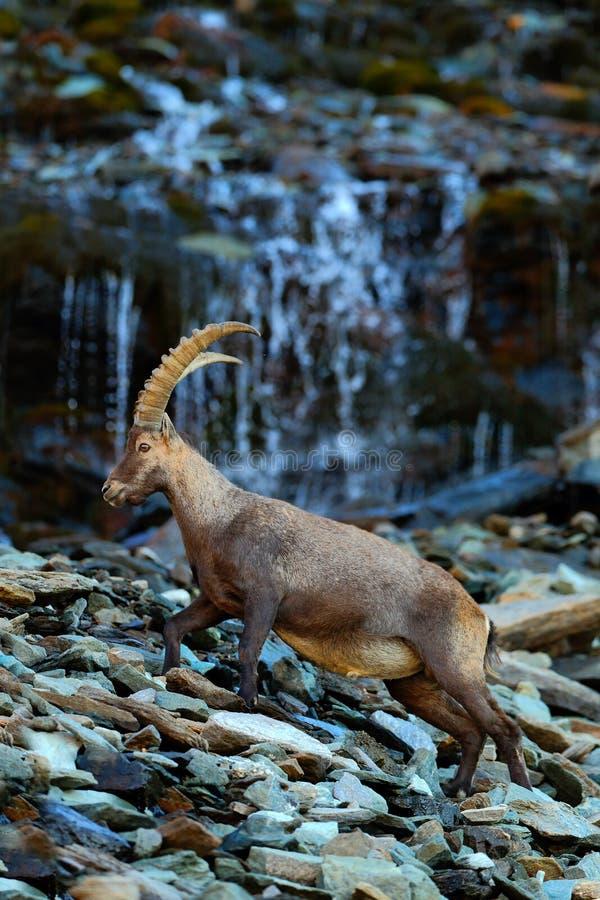 Stambecco, capra ibex, animale alpino con le rocce colorate con la cascata nel fondo, animale nell'habitat di pietra della natura fotografie stock