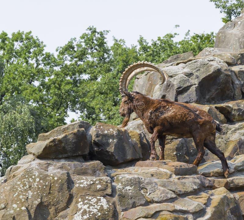 Stambecco che scala sulle rocce fotografie stock libere da diritti