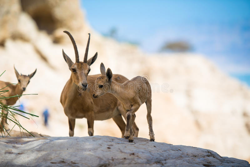 Stambecco della montagna, oasi di Gedi del ein, Israele immagine stock
