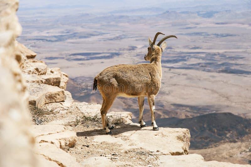 Stambecco femminile di Nubian sul bordo di Ramon Crater fotografia stock libera da diritti