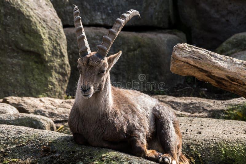 Stambecco maschio o capra ibex della montagna che si siede su una roccia immagini stock libere da diritti