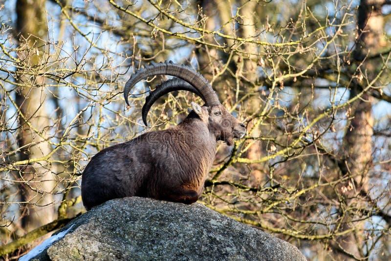 Stambecco maschio o capra ibex della montagna che si siede su una roccia immagine stock