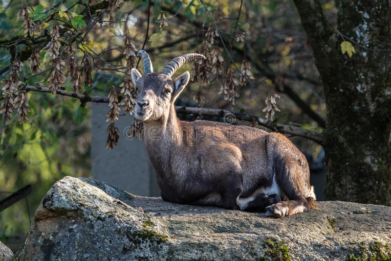 Stambecco maschio o capra ibex della montagna che si siede su una roccia fotografia stock libera da diritti