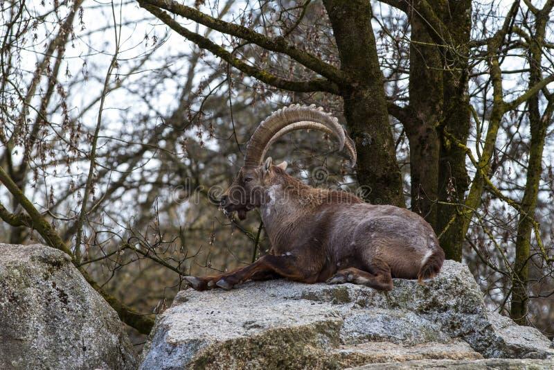 Stambecco maschio o capra ibex della montagna che si siede su una roccia immagini stock