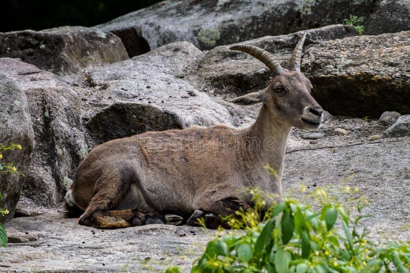 Stambecco maschio o capra ibex della montagna che si siede su una roccia fotografie stock